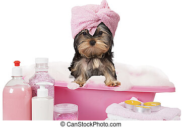 Yorkshire terrier dog taking a bath - Funny Yorkshire...