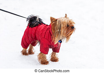 Yorkshire Terrier dog winter walk