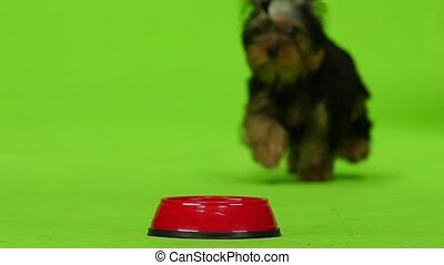 Yorkshire terrier eats. Green screen. Slow motion