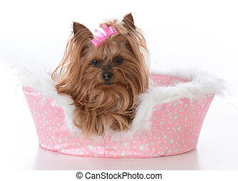 yorkshire terrier female in a dog bed