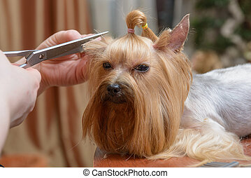 Small Yorkshire Terrier Haircut Pet