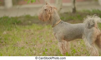 Yorkshire terrier grass dog Sniffs on the ground looking for...