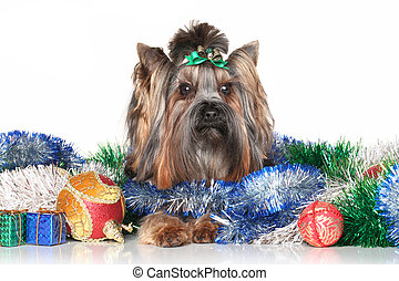 Yorkshire terrier in Christmas garlands
