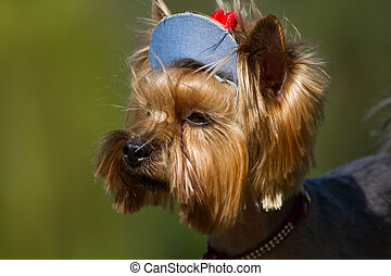 Yorkshire Terrier in his cap from the sun looking into the distance.
