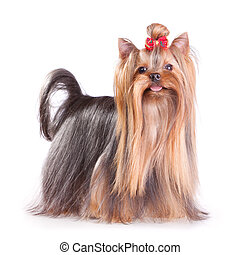 Yorkshire Terrier in show coat. Isolated on a white ...