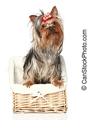 Yorkshire Terrier in wattled basket