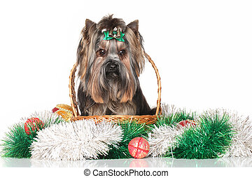 Yorkshire terrier in wicker basket