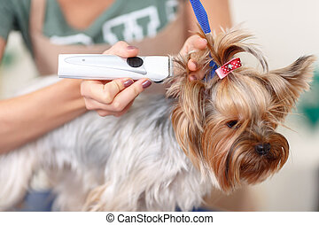 Yorkshire terrier is being trimmed. - Trim time. Yorkshire...