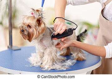 Yorkshire terrier is being trimmed - Sides grooming....