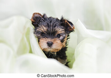 Yorkshire Terrier is one of the most popular indoor and decorative dog breeds.