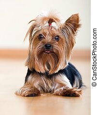 Yorkshire Terrier laying on  floor