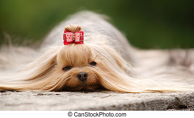 Yorkshire  terrier lying outdoors