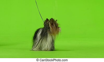 Yorkshire Terrier on a leash sits. Green screen. Slow motion