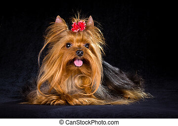 Yorkshire Terrier on a light black background