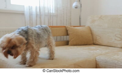Yorkshire terrier on couch