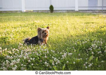 Yorkshire Terrier on green grass