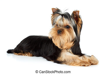 Yorkshire Terrier on white