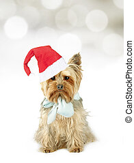 Yorkshire terrier onto Christmas