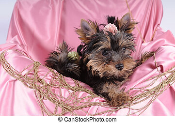 Little yorkshire terrier pappy in blue silk and beads