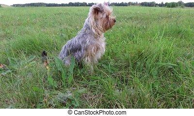 Yorkshire Terrier pet Dog sitting on the grass steadicam...