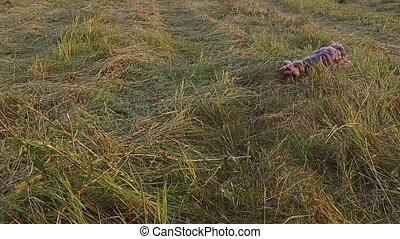 Yorkshire Terrier pet the dog runs along grass steadicam...