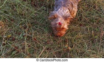 Yorkshire Terrier pet the dog runs along the grass steadicam...