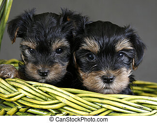 Yorkshire terrier - Two puppies of the yorkshire terrier in...