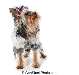 Yorkshire Terrier - image of a Miniature Yorkshire Terrier...