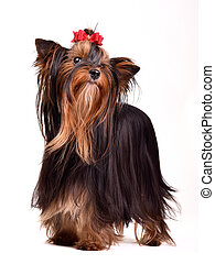 Yorkshire Terrier - Playful Yorkshire Terrier