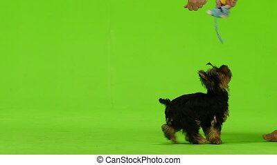 Yorkshire terrier plays with a toy. Green screen. Slow motion
