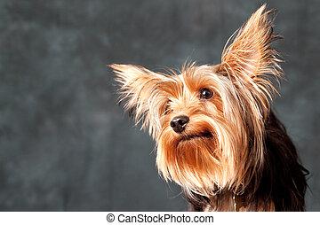 Yorkshire Terrier portrait