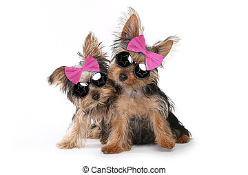 Yorkshire Terrier Puppies Dressed up in Pink - Cute...