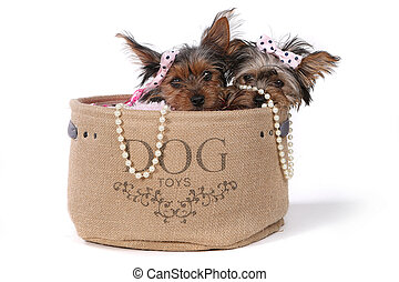 Yorkshire Terrier Puppies Dressed up in Pink