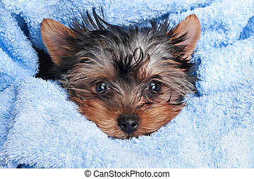 Yorkshire Terrier puppy in blue towel on a white background