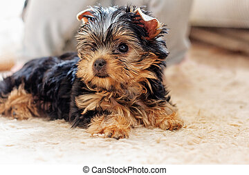 Yorkshire terrier puppy 2 months lying on the carpet
