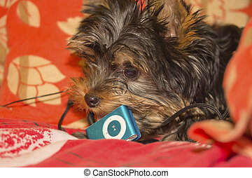 Yorkshire terrier puppy bites into the music player