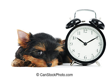 Yorkshire Terrier puppy dog with alarm clock