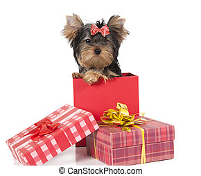 Yorkshire terrier puppy in a gift box