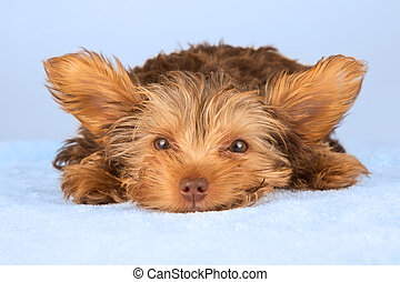 Yorkshire Terrier puppy lying in studio looking inquisitive on blue bed
