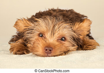 Yorkshire Terrier puppy lying in studio looking inquisitive...