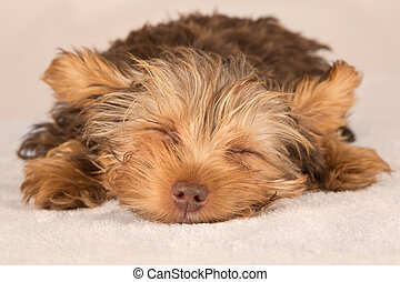 Yorkshire Terrier puppy lying in studio looking inquisitive on beige bed