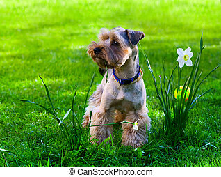 Yorkshire Terrier puppy on green grass