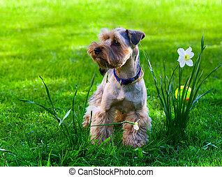 Yorkshire Terrier puppy on green grass