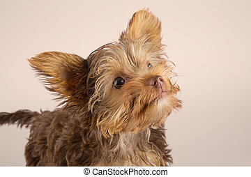 Yorkshire Terrier puppy standing in studio looking inquisitive on beige background