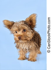 Yorkshire Terrier puppy standing in studio looking inquisitive on blue background