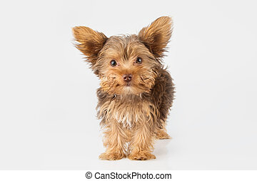 Yorkshire Terrier puppy standing in studio looking inquisitive on white background