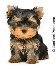 yorkshire terrier puppy the age of 2 month isolated on white...