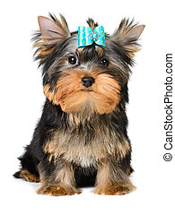 yorkshire terrier puppy the age of 2 month isolated on white