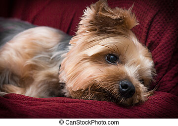 Yorkshire Terrier Relaxing - Portrait yorkshire terrier or...