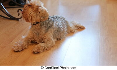 Yorkshire terrier resting on floor
